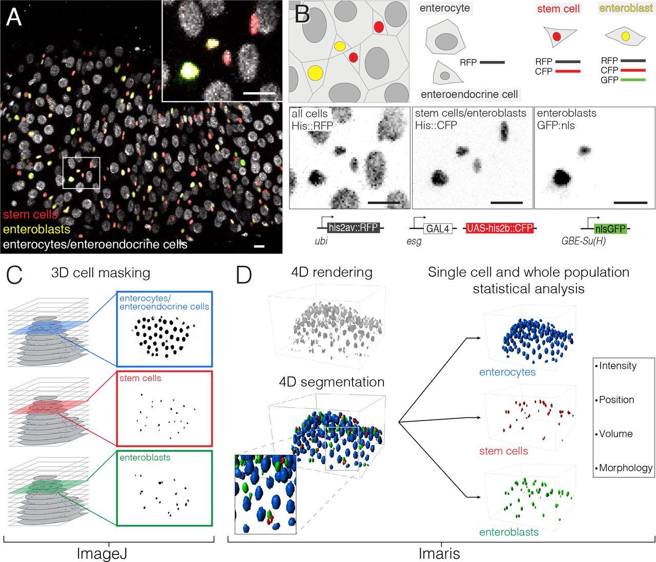 Long-term live imaging of the Drosophila adult midgut