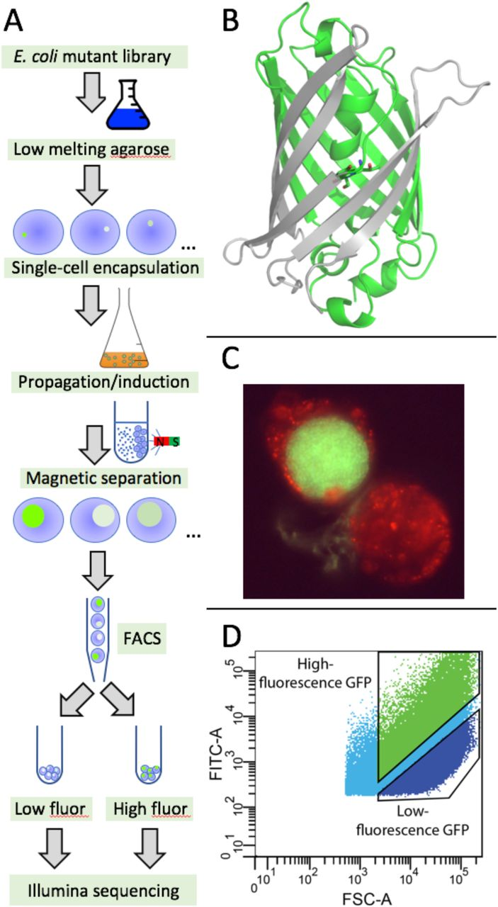 Deep mutational scanning by FACS-sorting of encapsulated E