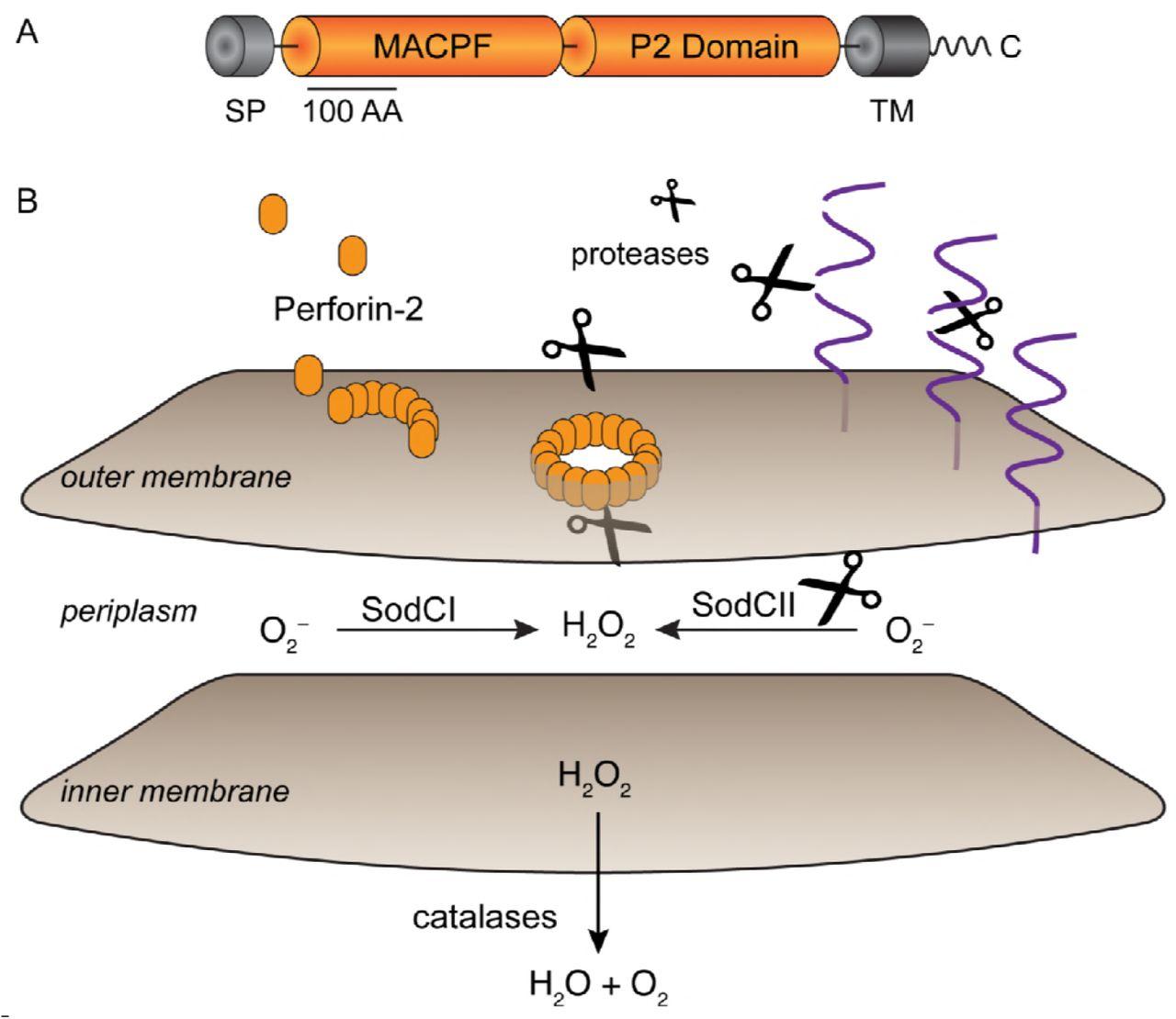Perforin-2 Permeabilizes the Envelope of Phagocytosed Bacteria | bioRxiv
