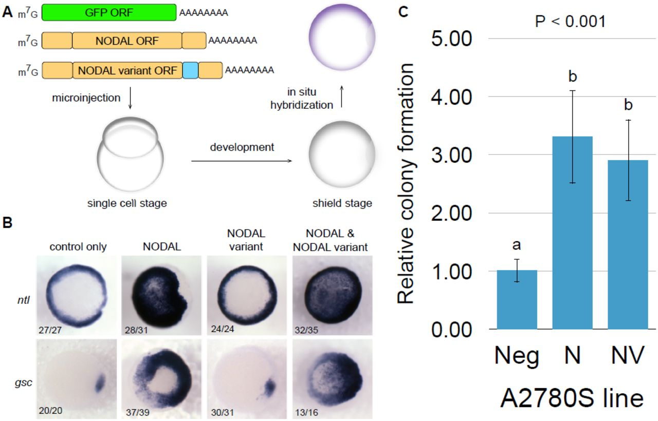 Genetically regulated human NODAL splice variants are