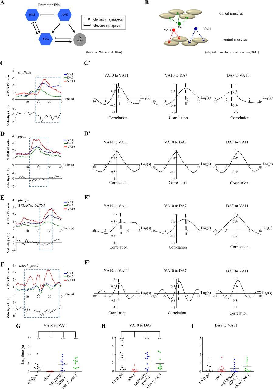 The UBR-1 Ubiquitin Ligase Regulates Glutamate Metabolism to ... on