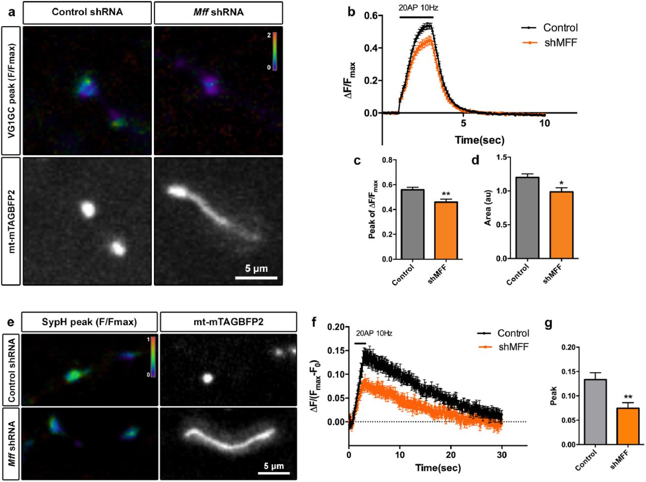 MFF-dependent mitochondrial fission regulates presynaptic ... on