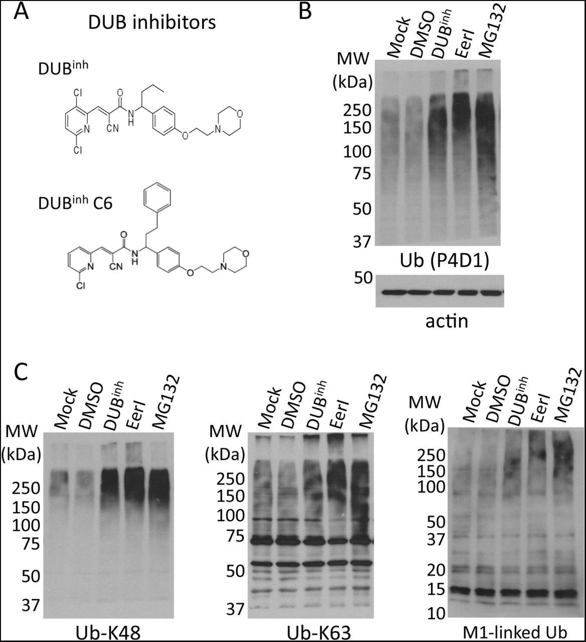 Perturbation of ubiquitin homeostasis promotes macrophage