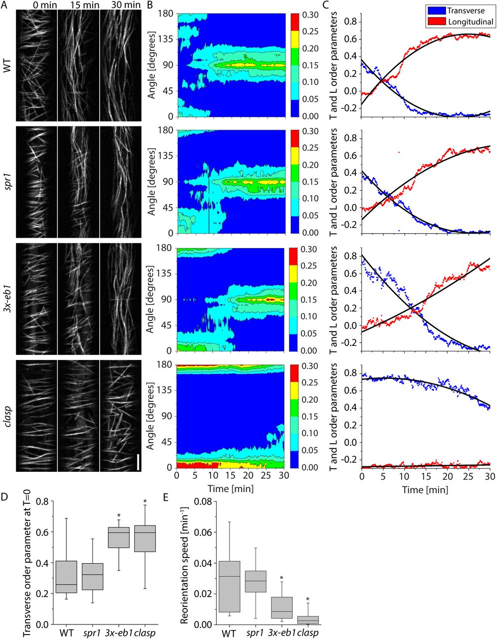 CLASP promotes microtubule array reorientation by acting as