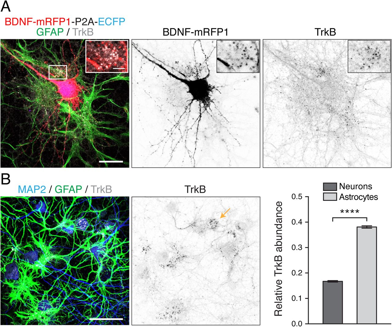 Visualizing BDNF cell-to-cell transfer reveals astrocytes