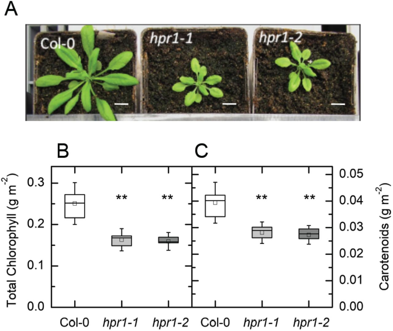 Loss of Peroxisomal Hydroxypyruvate Reductase Inhibits