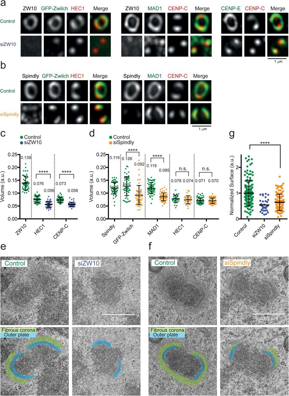 Dynamic Kinetochore Size Regulation Promotes Microtubule
