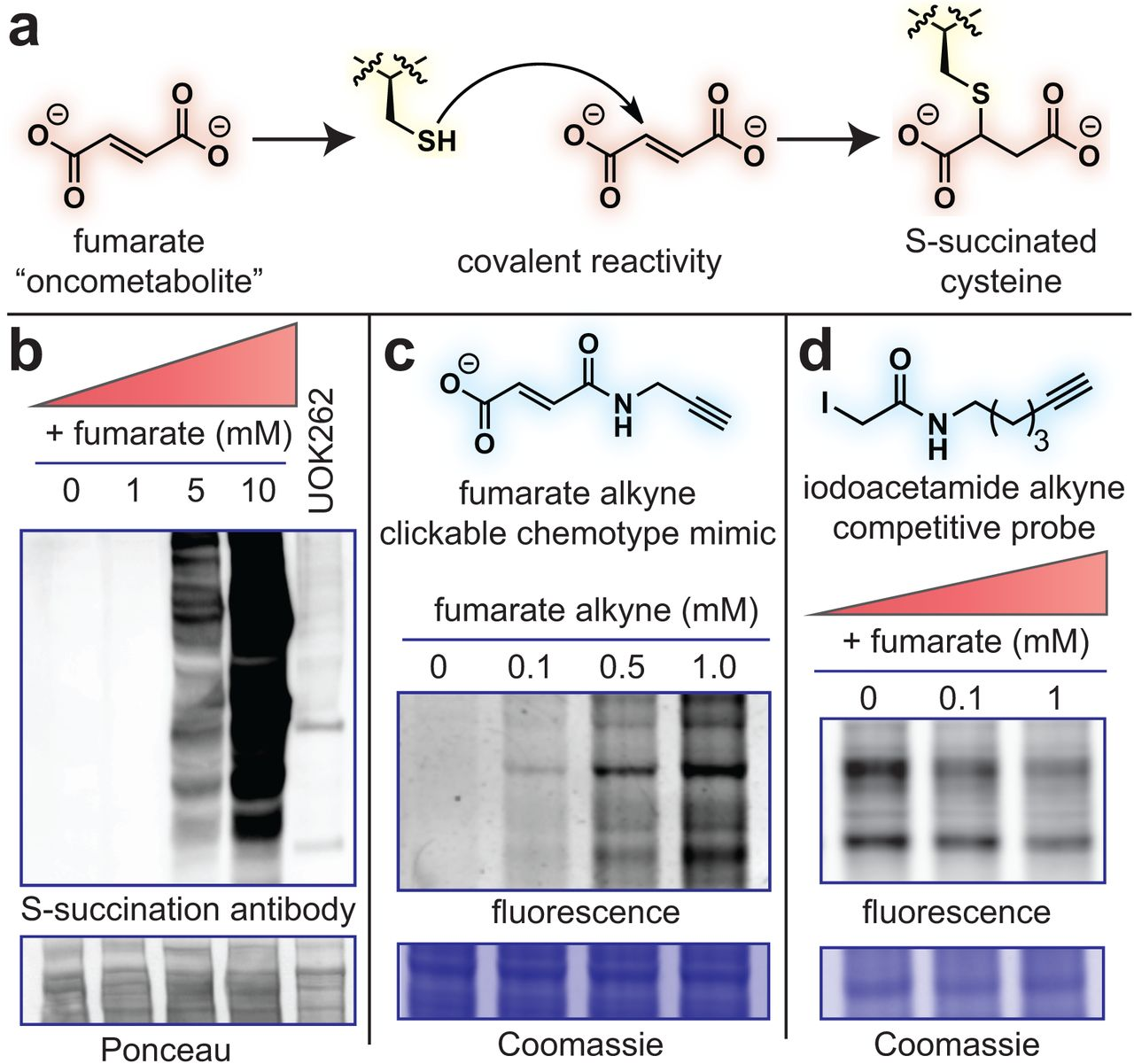 A Chemoproteomic Portrait Of The Oncometabolite Fumarate
