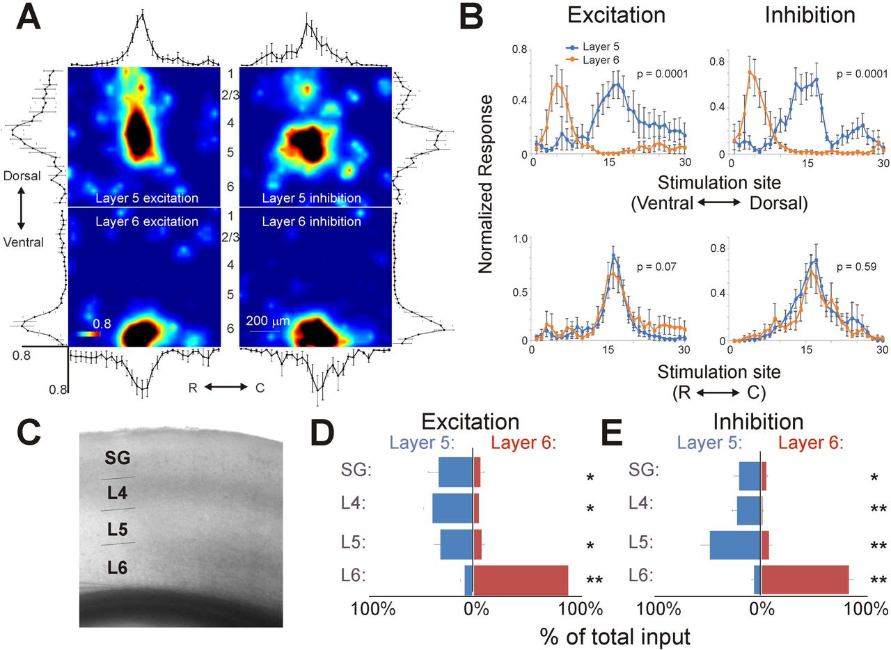 Thalamocortical And Intracortical Inputs Differentiate Layer