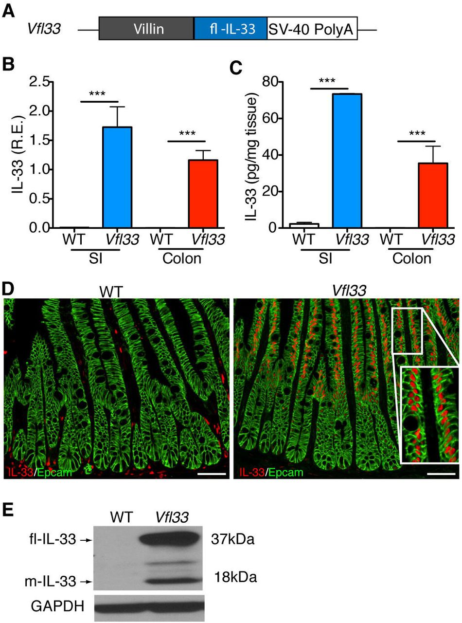 IL-33 regulates gene expression in intestinal epithelial