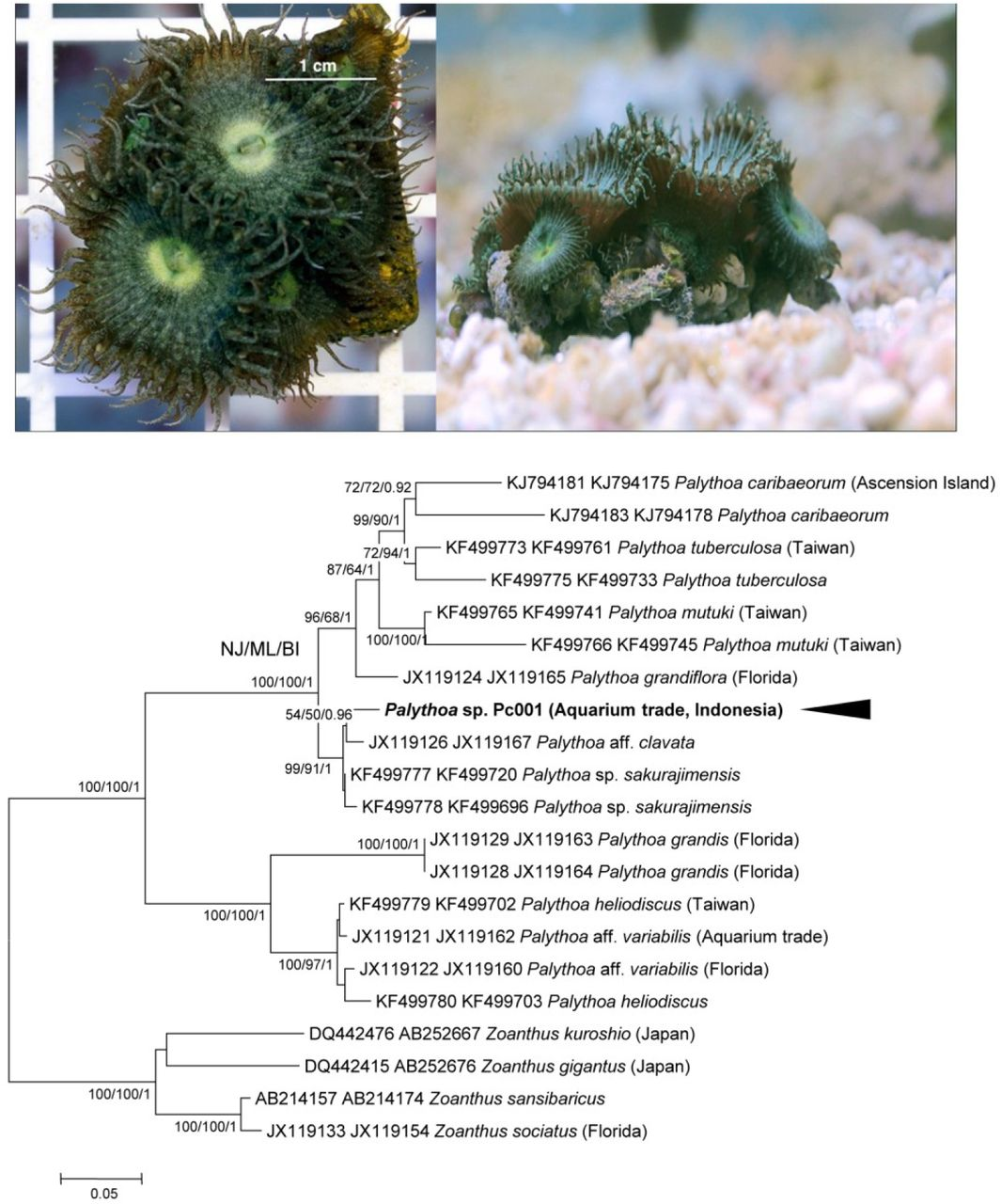 Characterisation Of Palytoxin From An Undescribed Palythoa