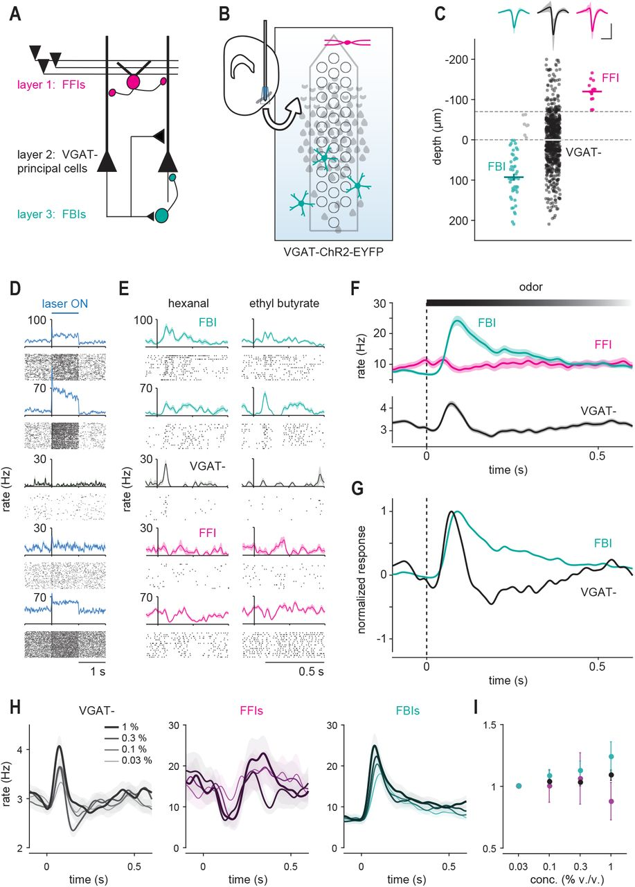Recurrent cortical circuits implement concentration