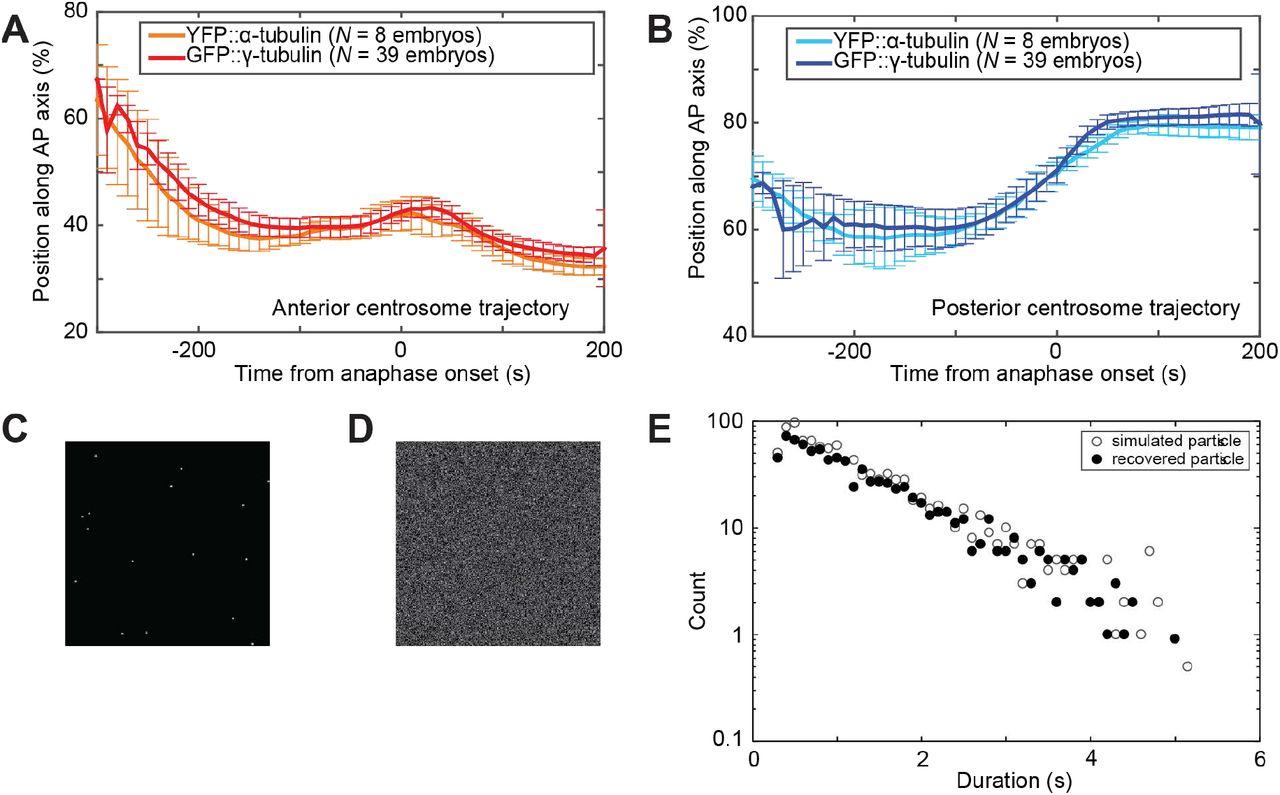 LET-99-dependent spatial restriction of active force