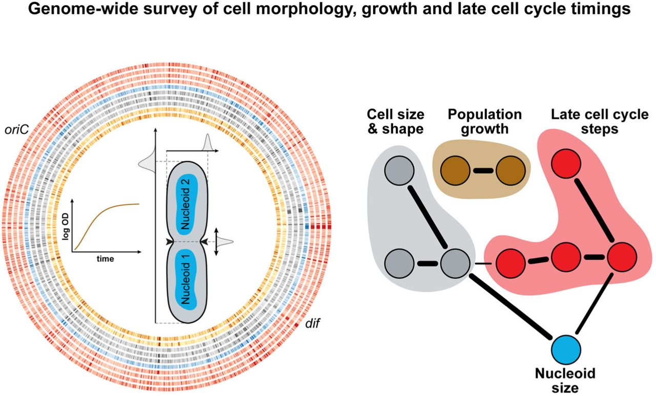 Genome-wide phenotypic analysis of growth, cell morphogenesis and