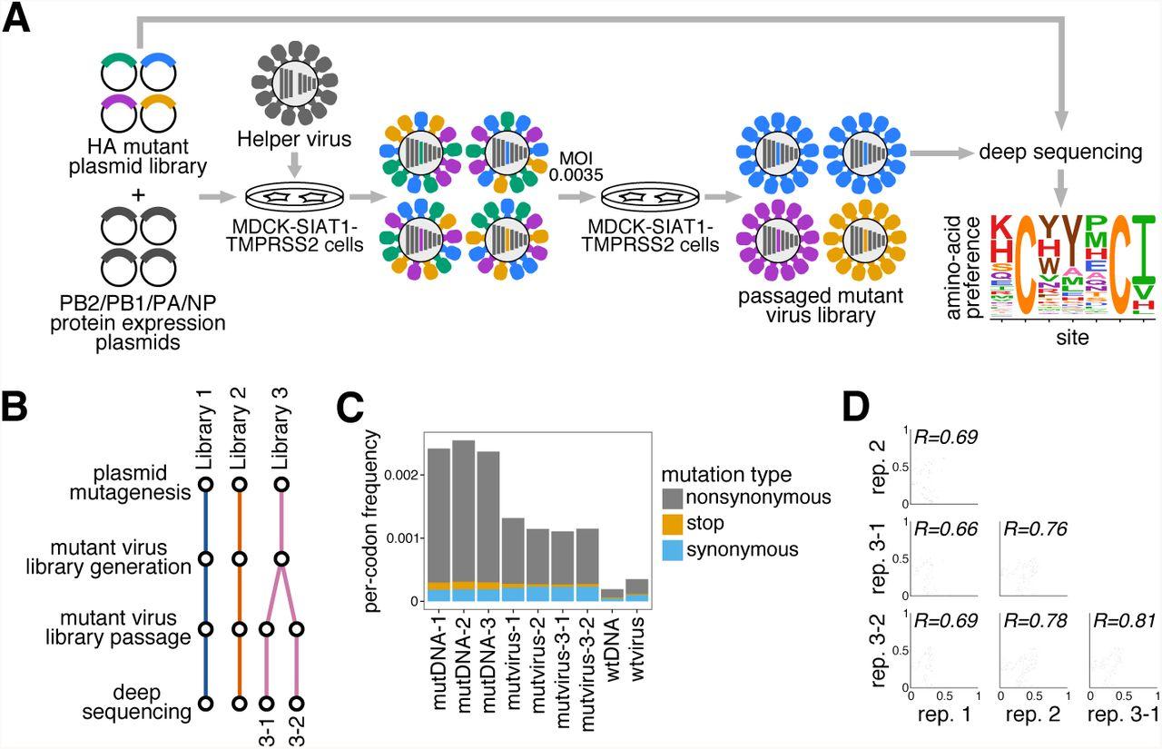 Deep mutational scanning of hemagglutinin helps predict evolutionary