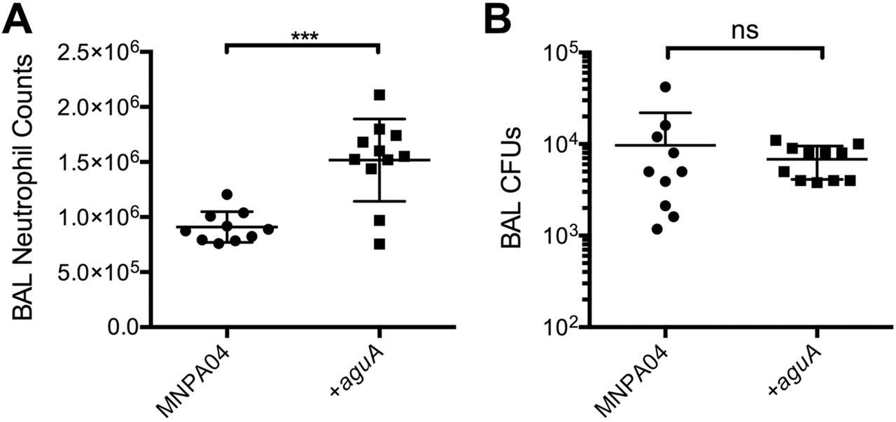Agmatine accumulation by Pseudomonas aeruginosa clinical isolates