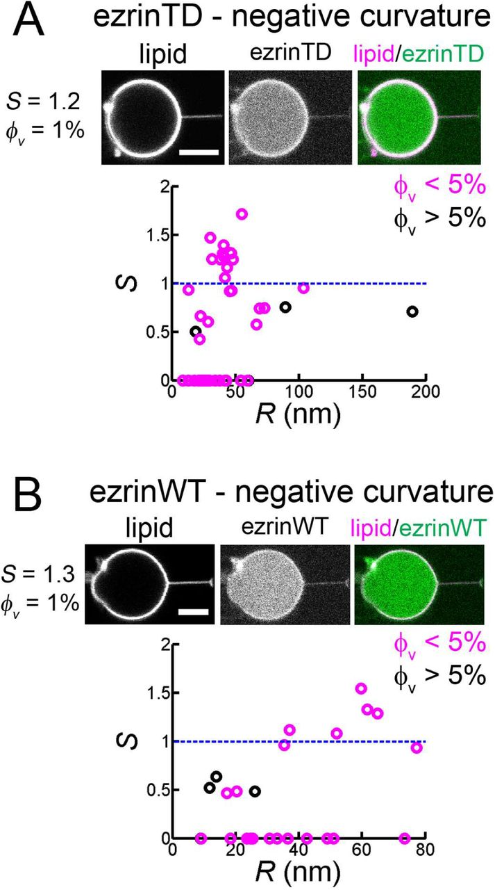 Ezrin enrichment on curved membranes requires a specific