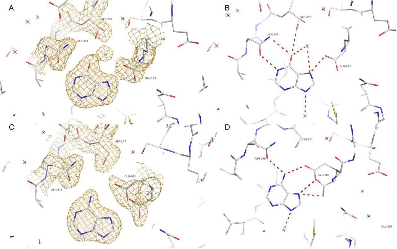 The molecular structure of Schistosoma mansoni PNP isoform 2