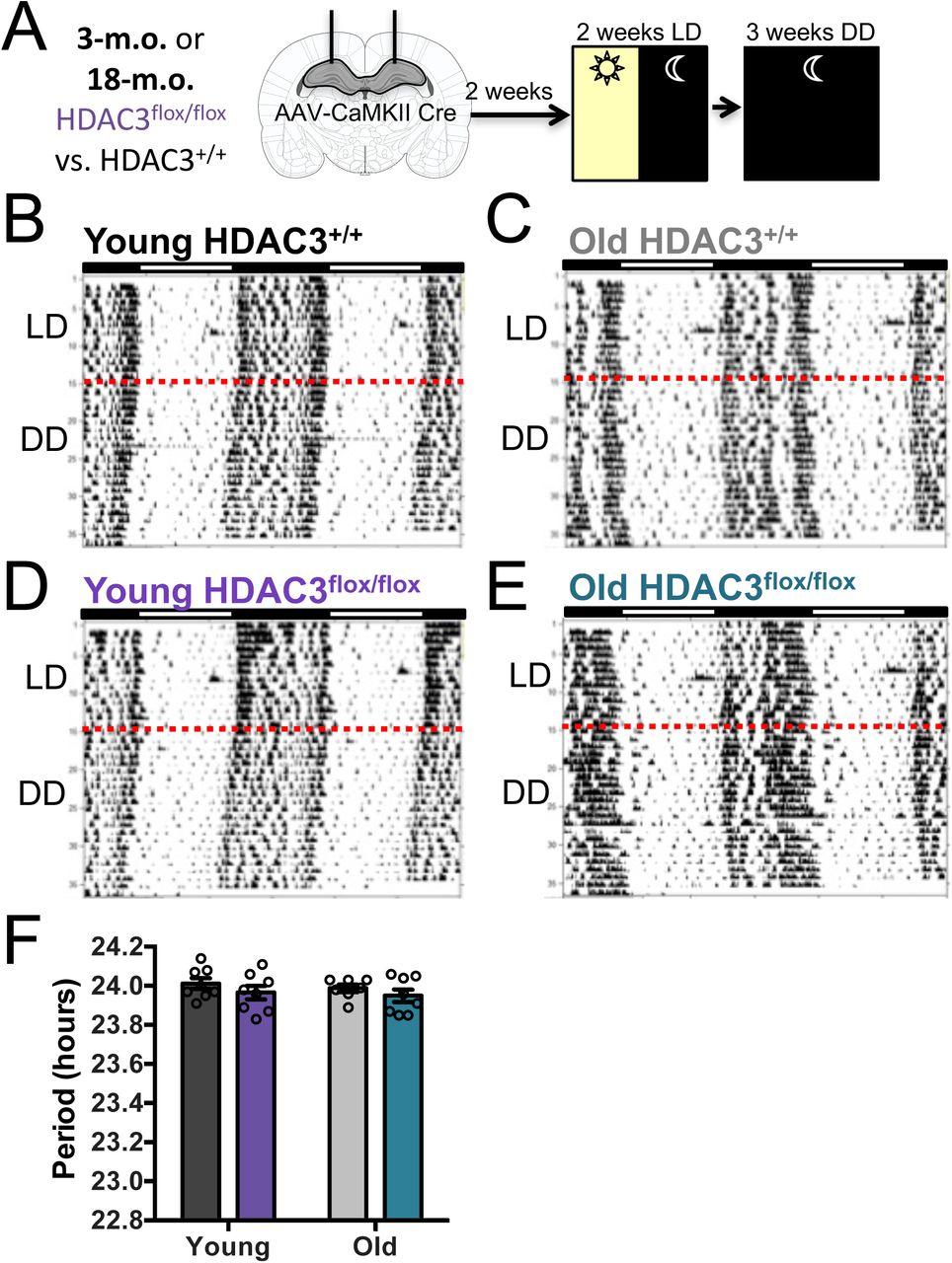 Epigenetic regulation of the circadian gene Per1 in the hippocampus
