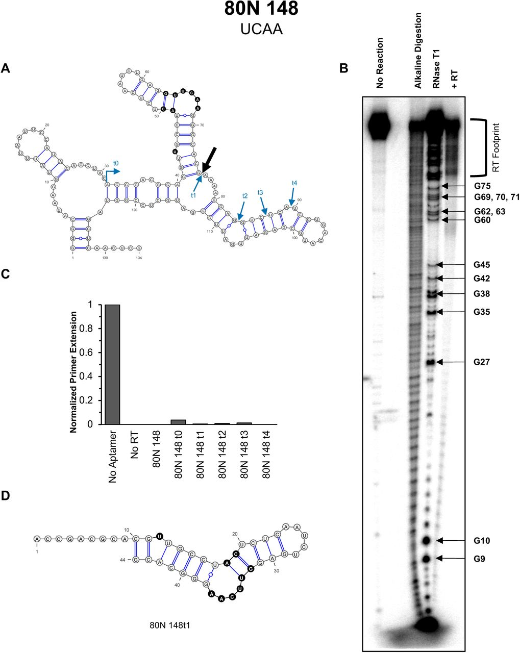 Minimization and motif characterization of 80N 148. ( A ) The predicted secondary structure of the aptamer with arrows depicting the location of the 3' boundary using RNase T1 digestion (large black arrow), and 3' end truncations that either remain functional (blue) or abrogate inhibition (red). ( B ) RT:aptamer 3' boundary. ( C ) Inhibition of HXB2 RT's DNA-dependent DNA polymerase activity by aptamer truncations. ( D ) The minimally viable 3' end truncation of the aptamer, 80N 148t1.