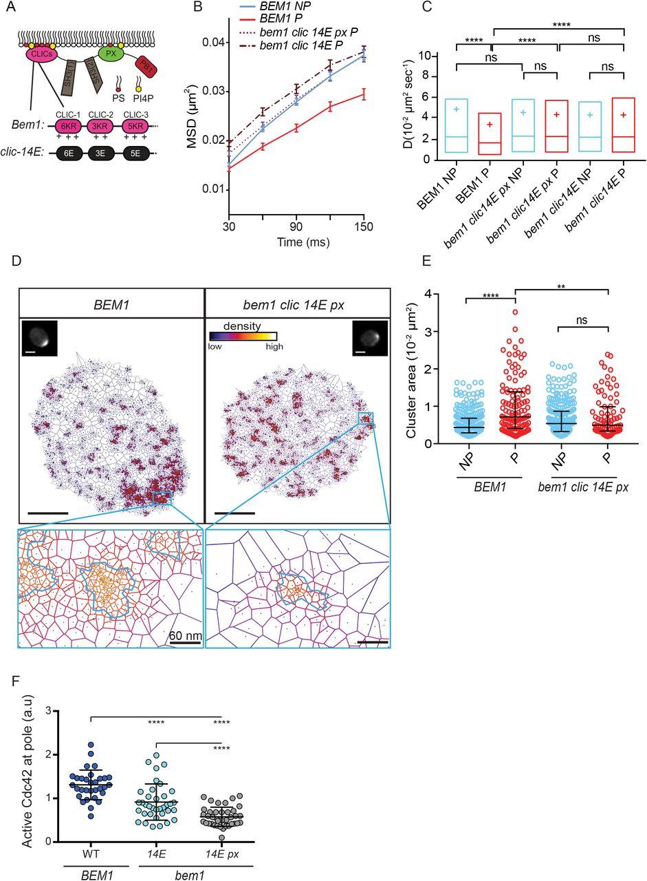Avidity-driven polarity establishment via multivalent lipid-GTPase