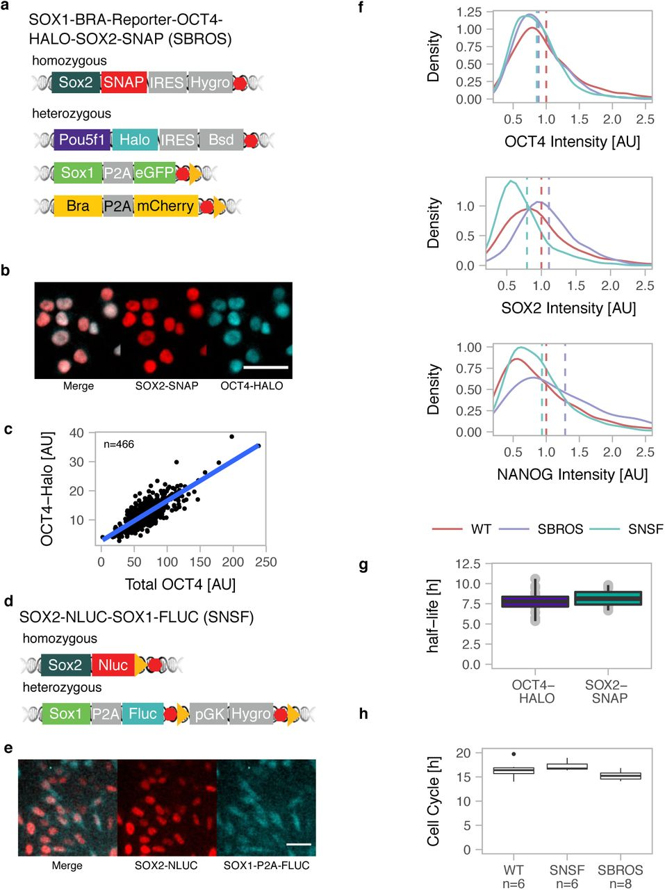 Endogenous fluctuations of OCT4 and SOX2 bias pluripotent cell fate