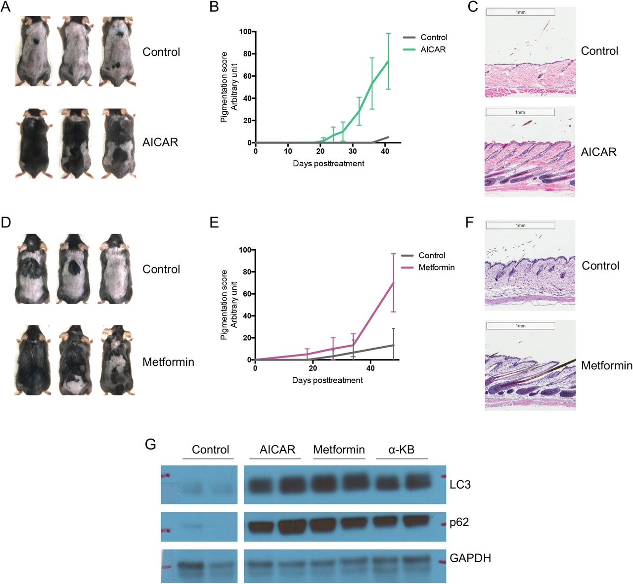 Hair regeneration by small molecules that activate autophagy   bioRxiv