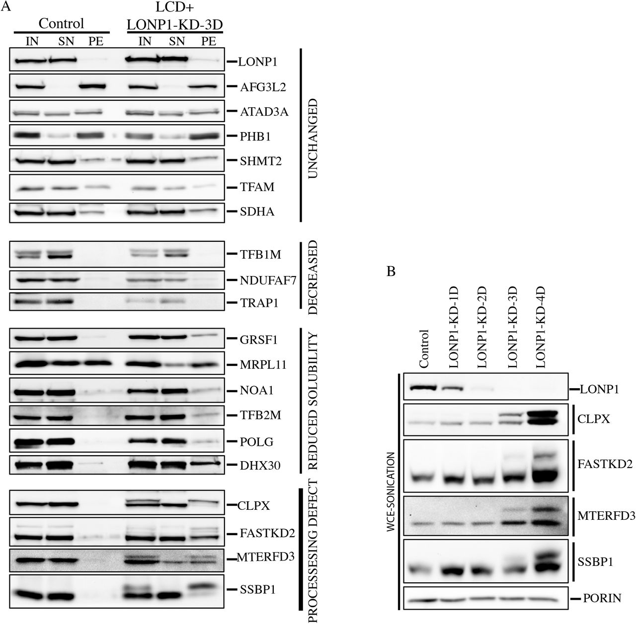 LONP1 is required for maturation of a subset of