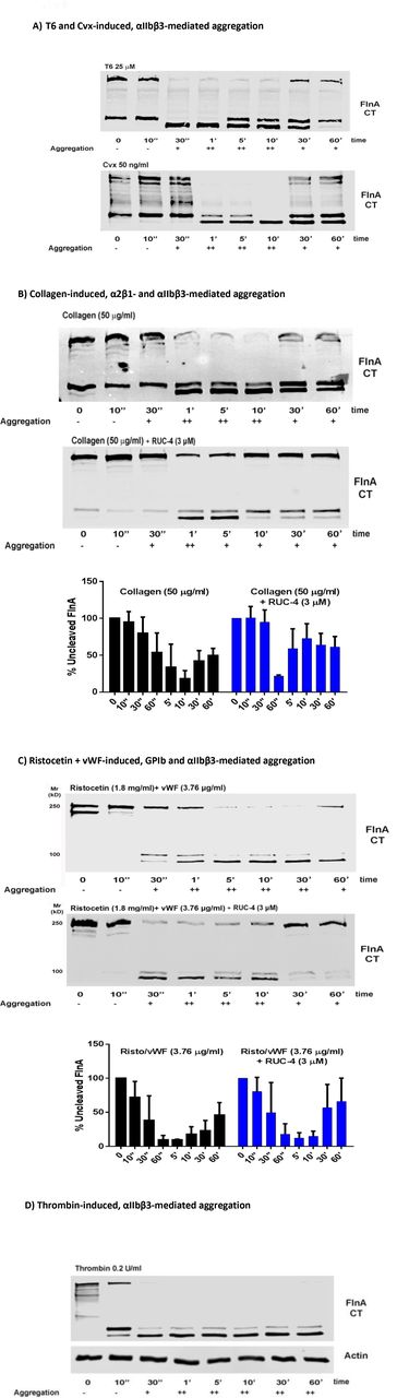 Filamin-A susceptibility to calpain-mediated cleavage as a