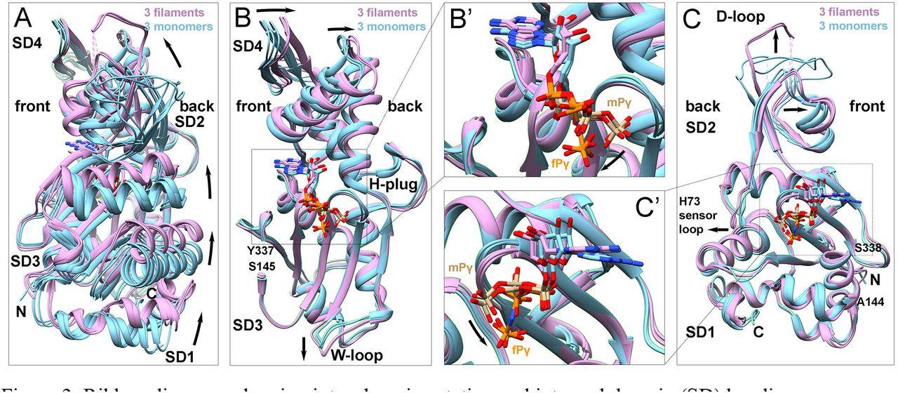 Mechanism of actin polymerization revealed by cryo-EM