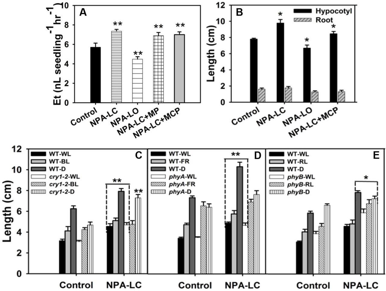 N-1-naphthylphthalamic acid stimulates tomato hypocotyl elongation