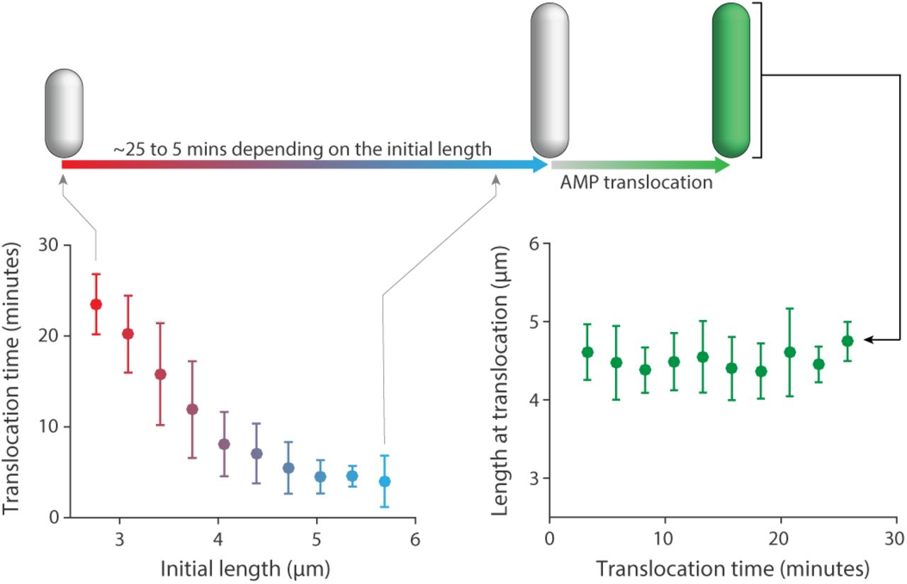 Heterogeneous Absorption of Antimicrobial Peptide LL37 in