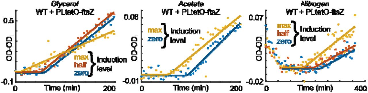Synthesis and degradation of FtsZ determines the first cell division