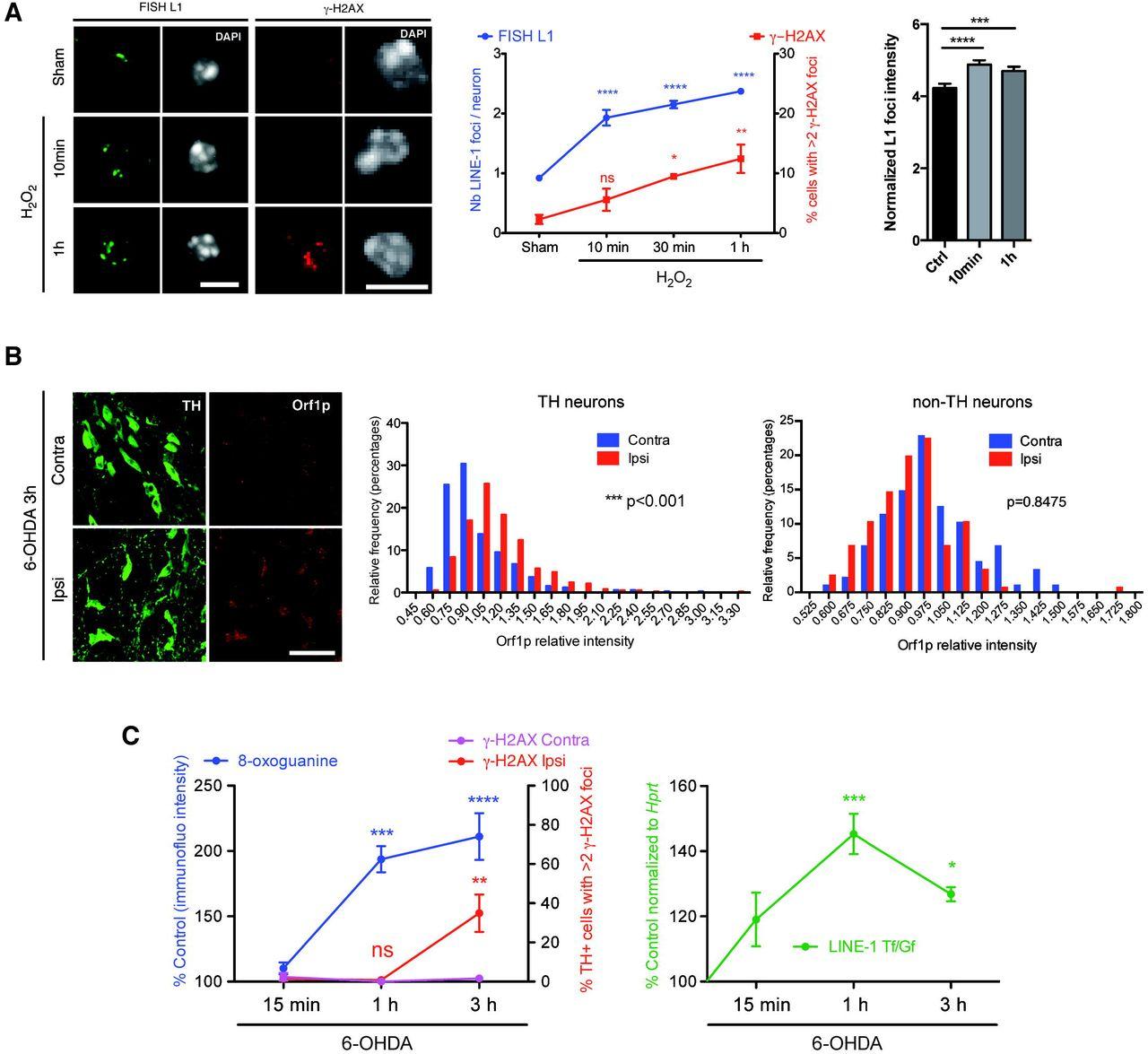 Engrailed homeoprotein blocks degeneration in adult