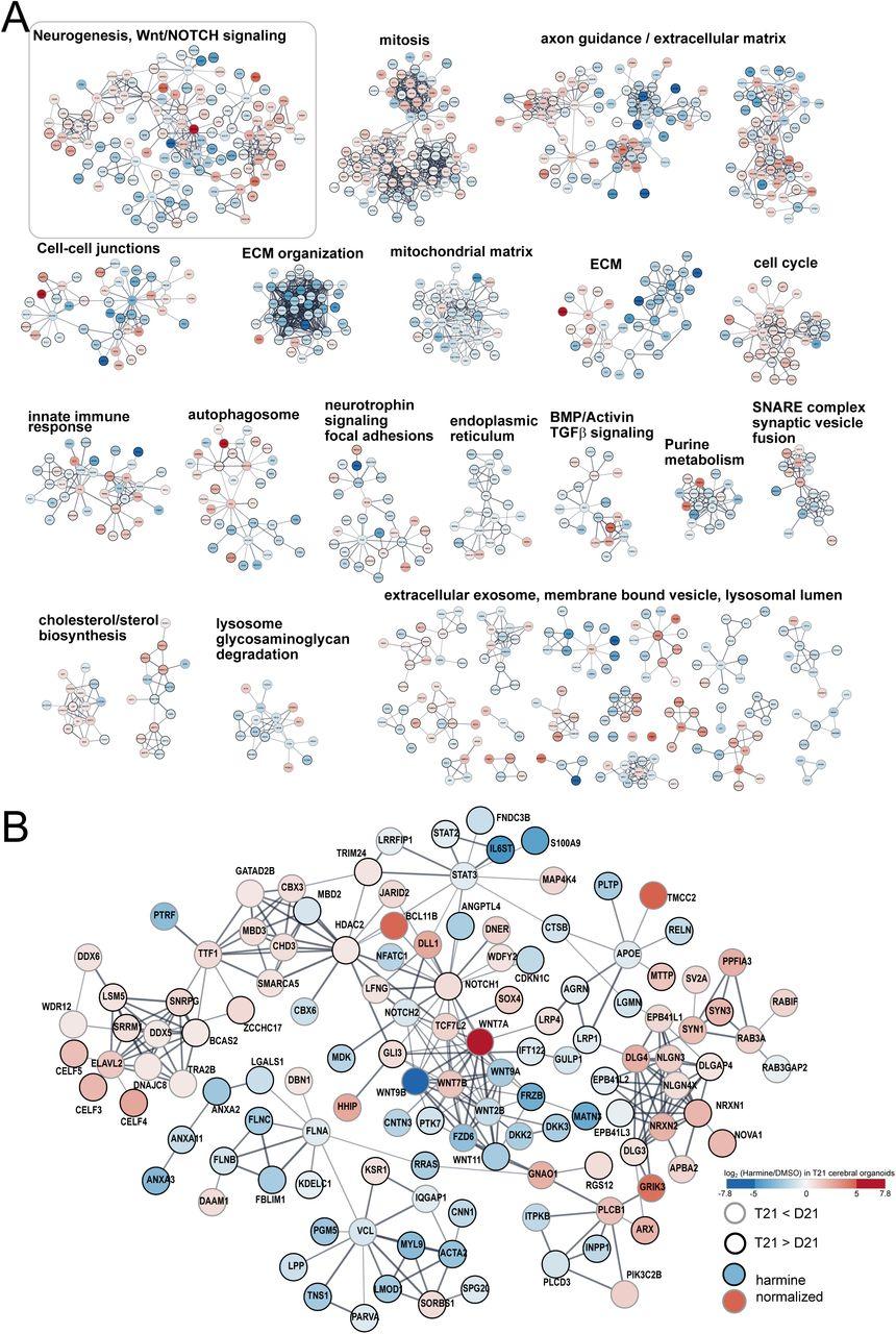 Cerebral organoid proteomics reveals signatures of
