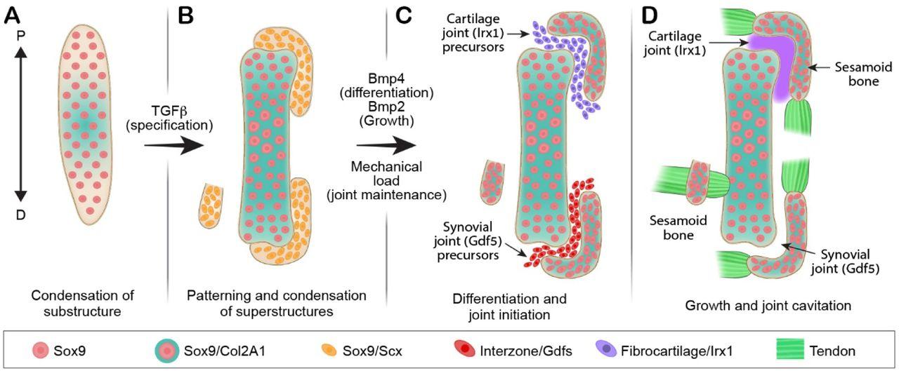On the Development of Sesamoid Bones   bioRxiv