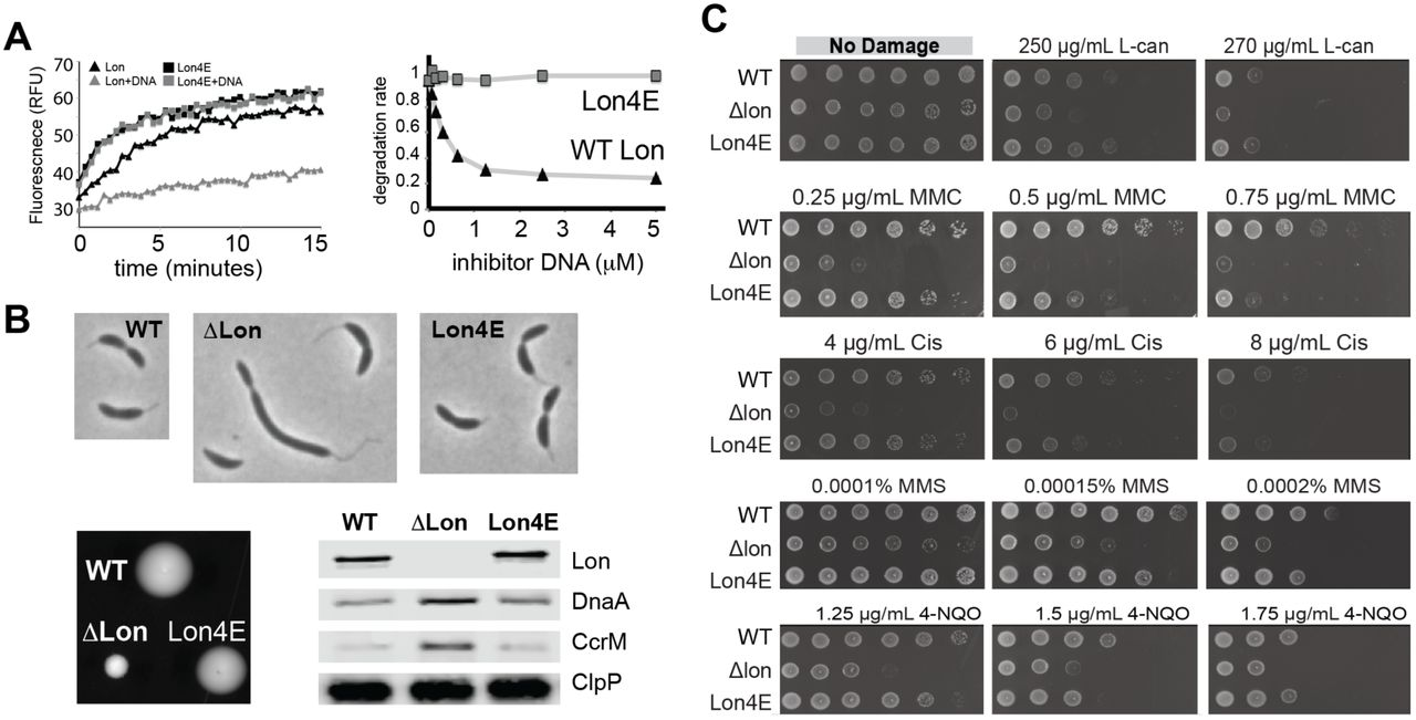 A legacy role for DNA binding of Lon protects against genotoxic