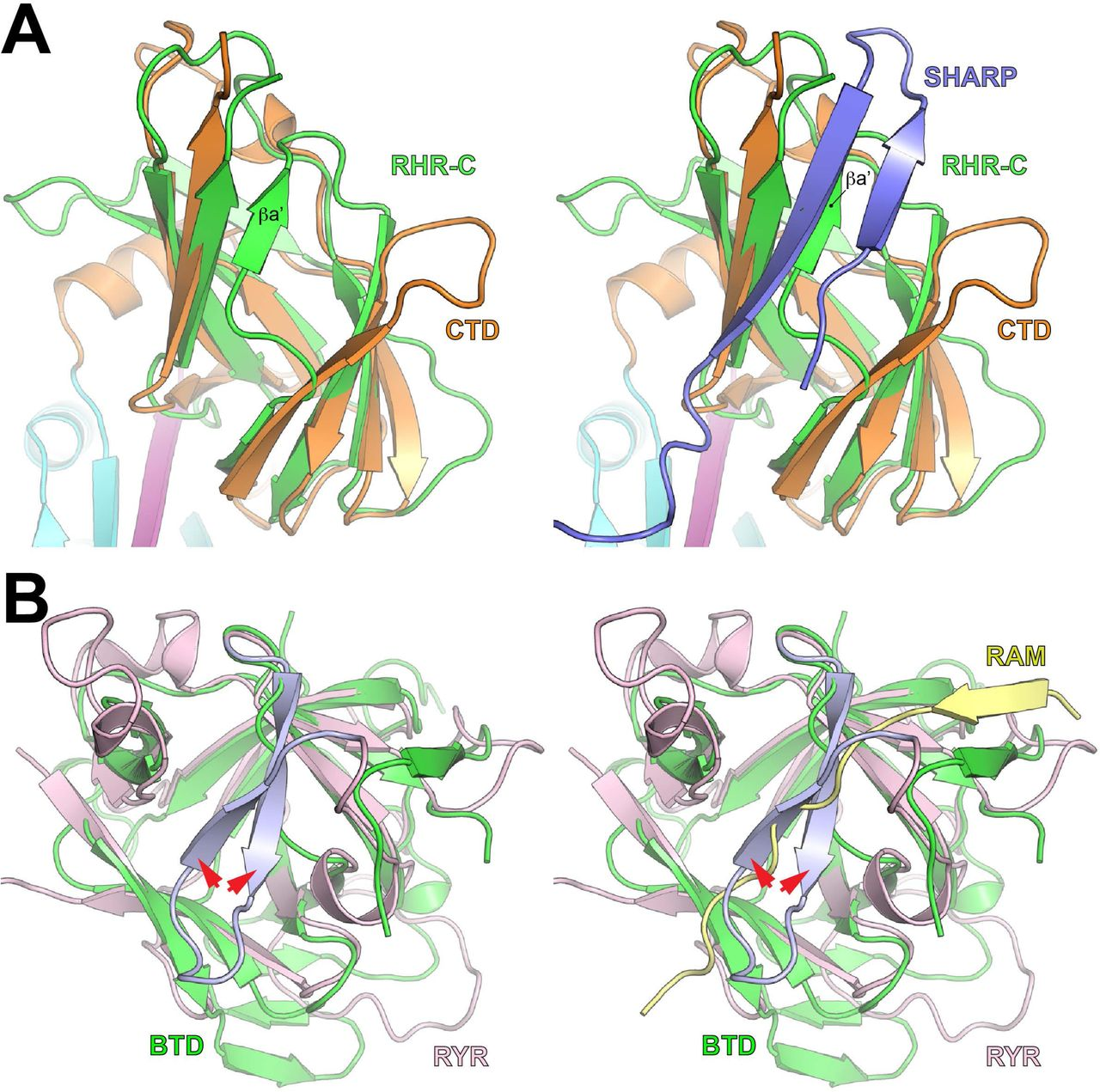 Structural and functional studies of the RBPJ-SHARP complex