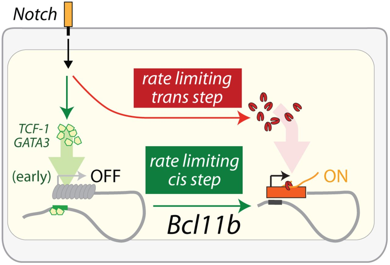A stochastic epigenetic switch controls the dynamics of T