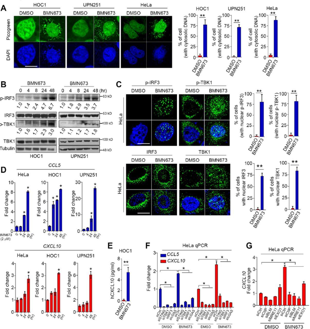 PARPi triggers STING-dependent immune response and enhances