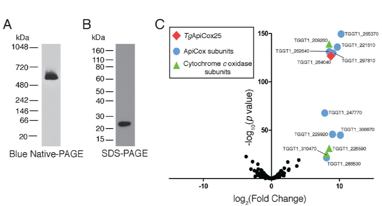 Identification of a divergent cytochrome c oxidase complex