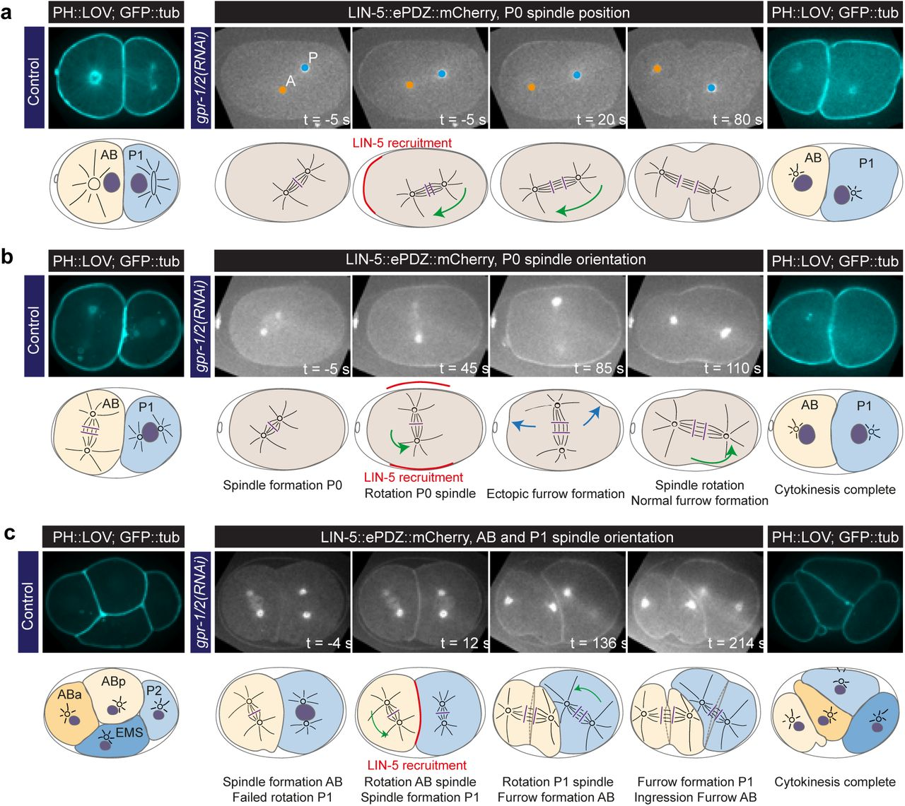 Optogenetic dissection of mitotic spindle positioning in vivo | bioRxiv