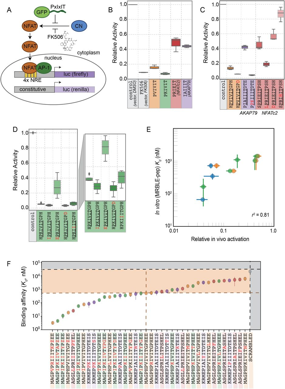 Quantitative mapping of protein-peptide affinity landscapes