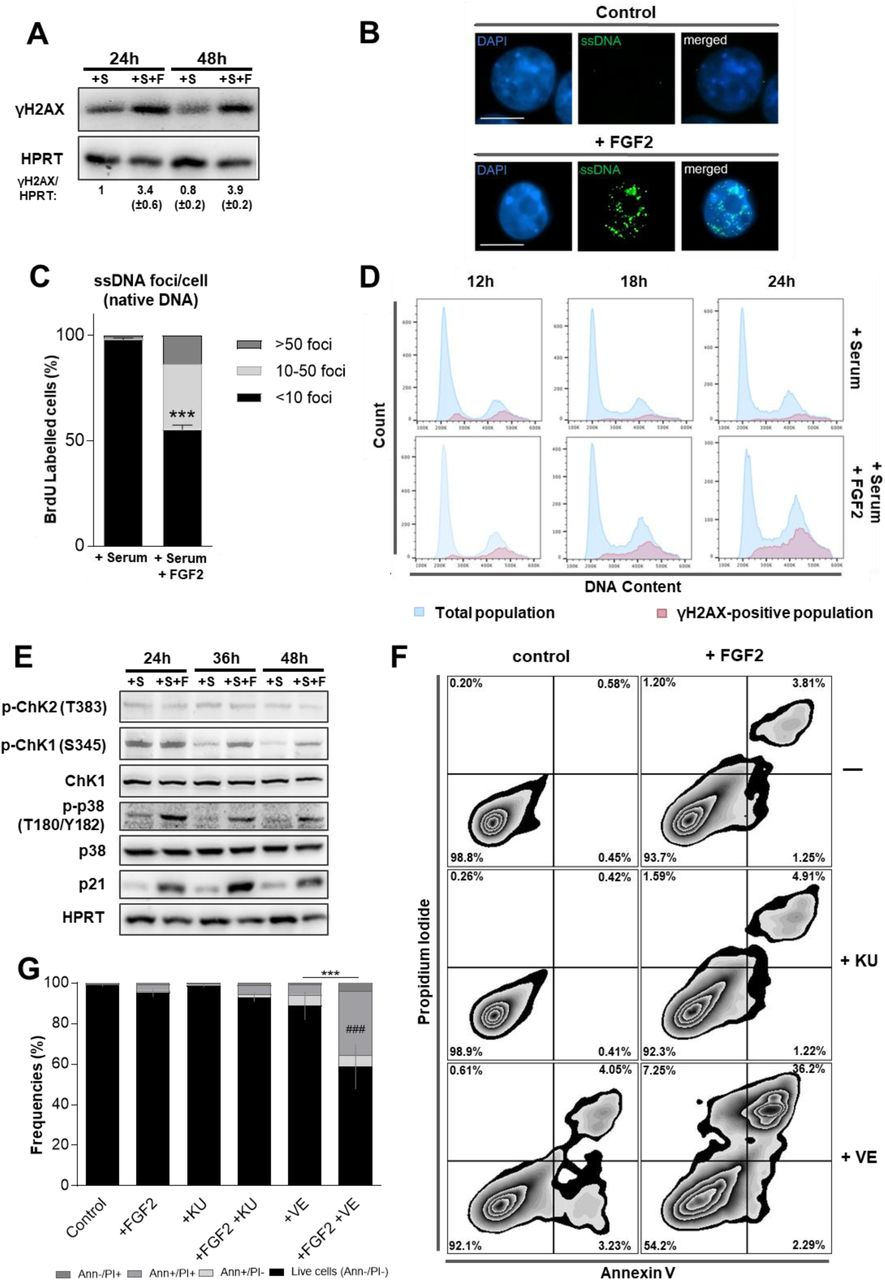 Fibroblast Growth Factor 2 lethally sensitizes cancer cells