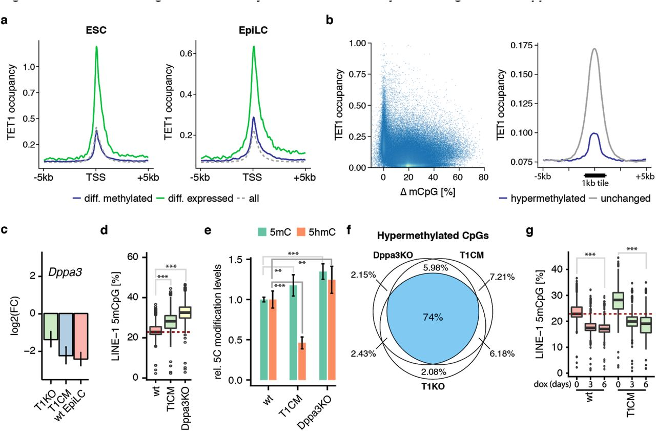 DPPA3 acts downstream of TET1 and TET2 to establish and preserve global hypomethylation a , Dppa3 loss results in global hypermethylation. Percentage of total 5mC as measured by RRBS. b , Dppa3 prevents the premature acquisition of a primed methylome. Principal component (PC) analysis of RRBS data from wt, T1CM, T2CM and T12CM ESCs, wt EpiLCs and Dppa3KO ESCs. c , DPPA3 and TET proteins promote demethylation of largely similar targets. Venn Diagrams depicting the overlap of hypermethylated sites among T1CM, T2CM, T12CM, and Dppa3KO ESCs. d , Dppa3 protects mostly repeats from hypermethylation. Fraction of hypermethylated genomic elements classified as TET-specific (only hypermethylated in TET mutant ESCs), DPPA3-specific (only hypermethylated in Dppa3KO ESCs), or common (hypermethylated in TET mutant and Dppa3KO ESCs). e , Gene ontology (GO) terms associated with promoters specifically dependent on TET activity; adjusted p-values calculated using Fisher's exact test followed by Benjamini-Hochberg correction for multiple testing. f , TET activity remains unaffected in Dppa3KO ESCs. Relative DNA modification levels for 5-methylcytosine (5mC) and 5-hydroxymethylcytosine (5hmC) as measured by mass spectrometry (LC-MS/MS). Error bars indicate mean ± SD calculated from n > 3 biological replicates. g , Dppa3 expression can rescue the hypermethylation in TET mutant ESCs. DNA methylation levels at LINE-1 elements (%) as measured by bisulfite sequencing 0, 3, or 6 days after doxycycline (dox) induction of Dppa3 expression. In the boxplots in a, g , horizontal black lines within boxes represent median values, boxes indicate the upper and lower quartiles, and whiskers indicate the 1.5 interquartile range. The dashed red line indicates the median methylation level of wt ESCs. In a, f , and g , P-values were calculated using Welch's two-sided t-test: ** P