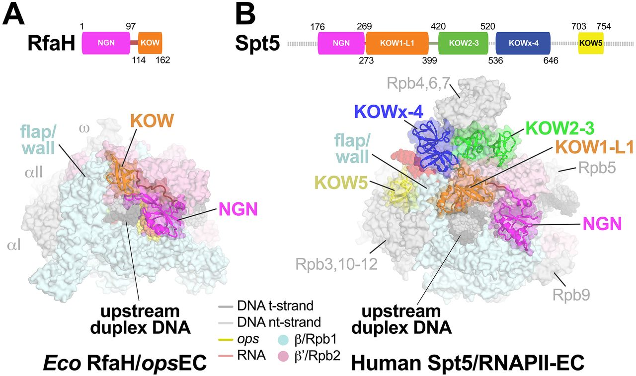 Structural basis for transcript elongation control by NusG/RfaH