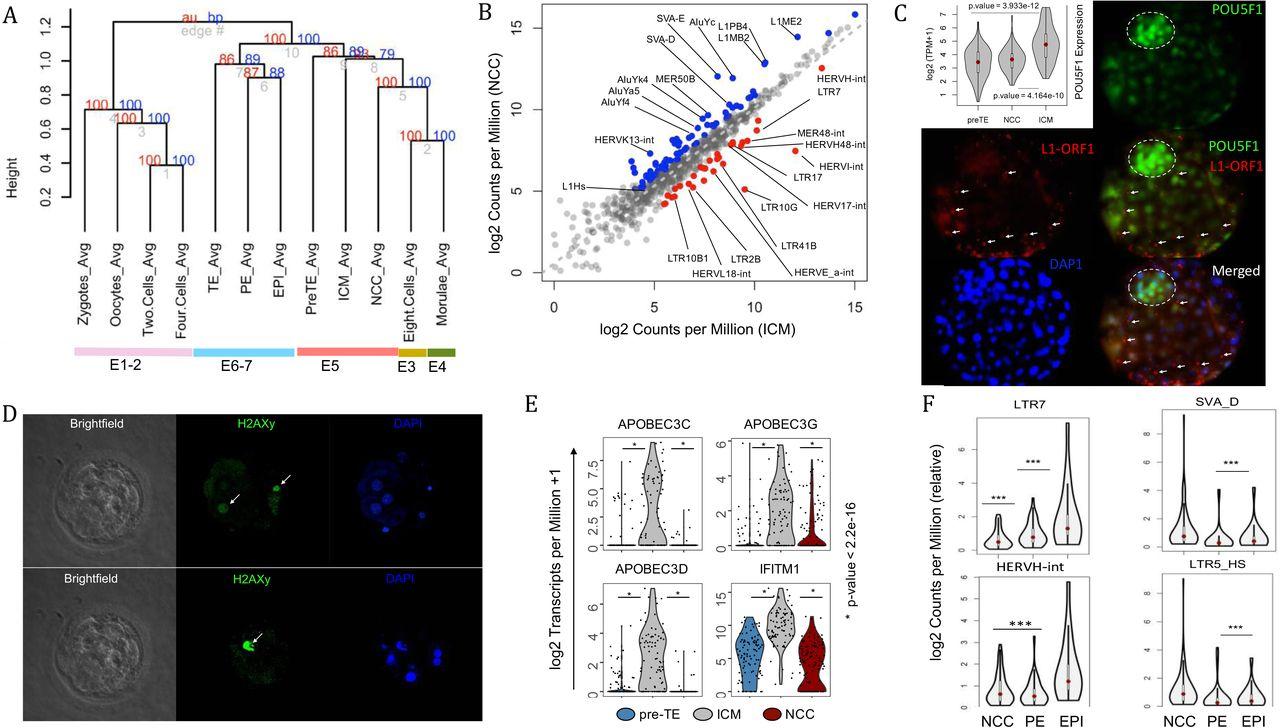 The phylogenetically distinct early human embryo | bioRxiv