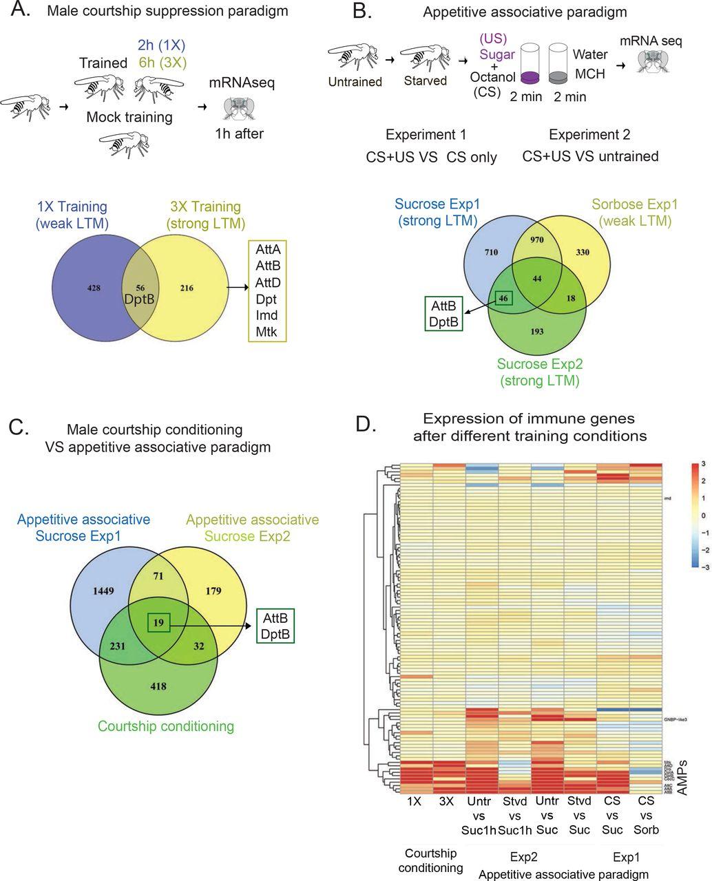 Antimicrobial peptides modulate long-term memory | bioRxiv