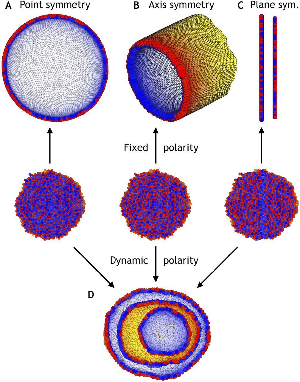 Theory bridging cell polarities with development of robust