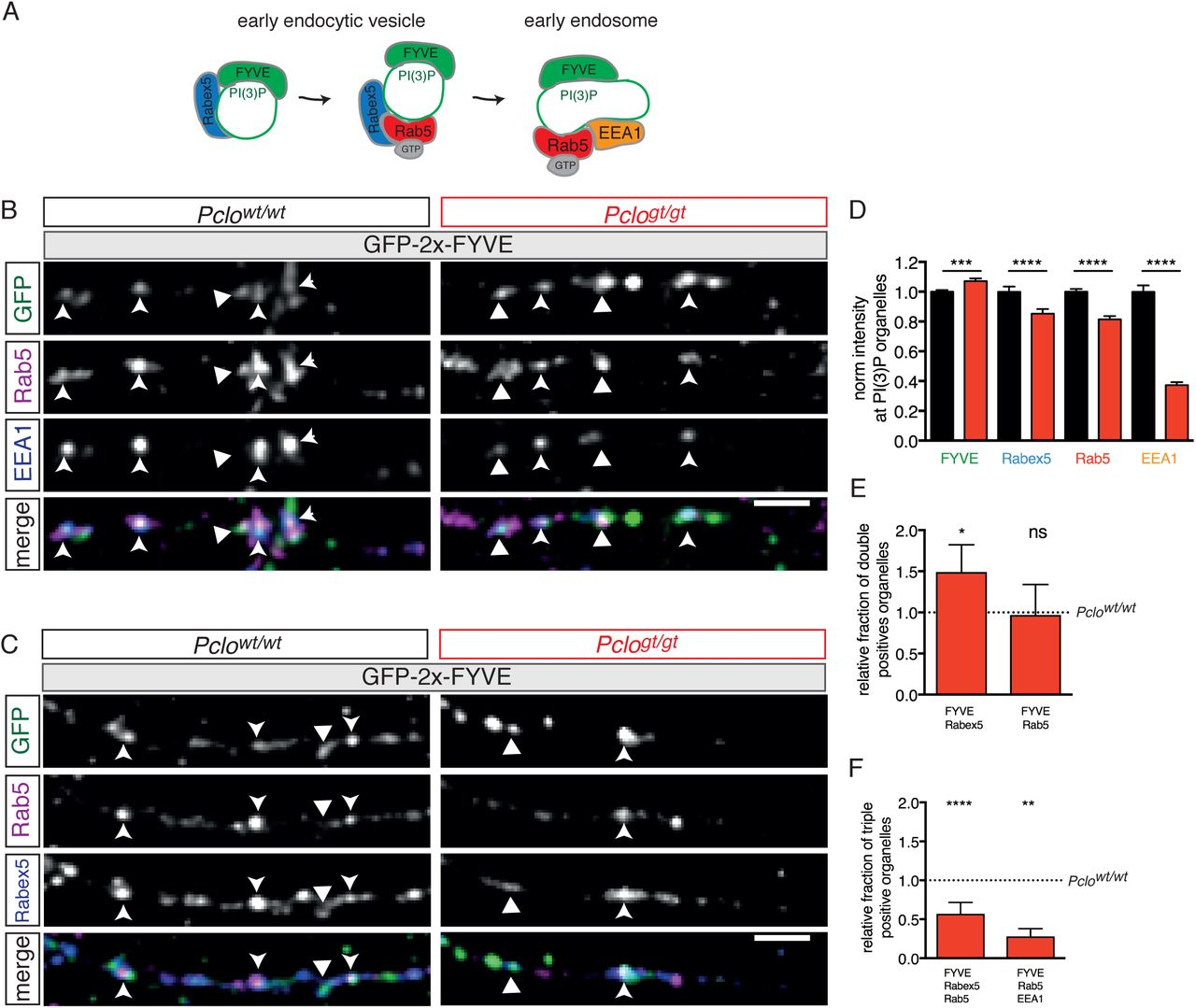 Critical role for Piccolo in Synaptic Vesicle Retrieval | bioRxiv